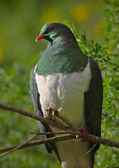 IMGP0545 Kereru Zealandia 27-06-17 (Donald Laing) Tags: new zealand wellington zealandia wildlife sanctuary native plants animals donald laing