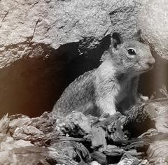 The Survivor (TwinLotus II) Tags: squirrel coolpix coolpixb500 photoscape blackwhite bw
