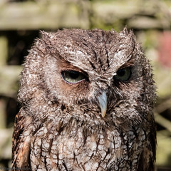 Schreeching Owl at Anston Butterfly House (Roger Hanuk) Tags: naturalworld birdunknown birds butterflyhouse england kodakektar southanston southyorkshire xequals northanston unitedkingdom