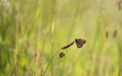 joy of a warm evening (Emma Varley) Tags: meadowbrown butterfly orange brown spot underside grass warmlight evening backlit sussex summer july southdownsnationalpark