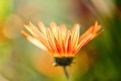 Glow (mclcbooks) Tags: flower flowers floral macro closeup daisy daisies denverbotanicgardens colorado summer