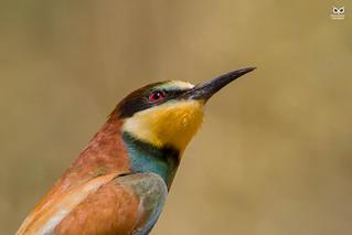 Abelharuco, European bee-eater (Merops apiaster))