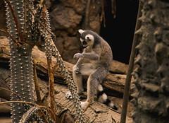 Contemplating Ringtail (TLW Photography) Tags: lemur ringtailed ring tailed ringtailedlemur baby cub bronx zoo bronxzoo tlwphotographytomaszwasik tlwphotography tomaszwasik tlw photography tomasz wasik photo nikon camera digital exhibit madagascar king julian kingjulian cute adorable summer vacation nycgo