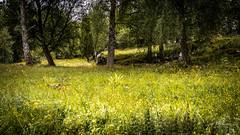 _61A4254.jpg (fotolasse) Tags: stenfors natur nature sweden sverige småland kronoberg å vatten water river bäck sten grönt green canon hdr 16x9 tingsryd