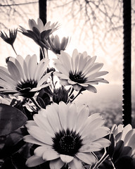 African daisies in BW (VillaRhapsody) Tags: spring flowers garden sepia bw daisies africandaisy