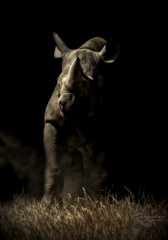 """Duster!"" (cjpk1) Tags: black rhino charging atmospheric light endangered red list"