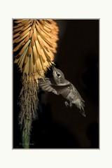 Last drop (Krasne oci) Tags: hummingbird bird birdinflight flowers flowerart flying onblack photoart artphotography hummer smallbirds evabartos