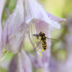 A boire et à manger (Mariette80) Tags: goutes gouttelettes insecte syrphe hosta
