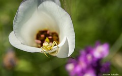 On the precipice of a petal (Photosuze) Tags: spiders crabspiders arachnids flowers flora wildflowers lilies mariposalilies nature wildlife animals