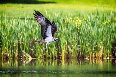 out of the water (david_sharo) Tags: nature wildlife moraine osprey