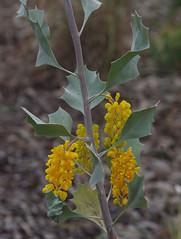 Grevillea wickhamii?, Kings Park, Perth, WA, 06/07/17 (Russell Cumming) Tags: plant grevillea grevilleawickhamii proteaceae kingspark perth westernaustralia