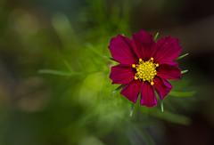 Cosmos Sensation (markhortonphotography) Tags: bokeh surrey macro flora markhortonphotography nature flower deeppink green pink cosmos yellow thatmacroguy