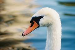 Een oogje in 't zeil (Skylark92) Tags: nederland netherlands holland noordholland amsterdam west zwaan swan schwäne