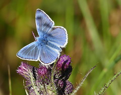 Common Blue Butterfly (eric robb niven) Tags: ericrobbniven scotland common blue butterfly wildlife nature dundee tentsmuir springwatch
