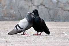 Love is in the air (kyry2010) Tags: piccione pigeon bird uccello vogel oiseau animal animale love amore