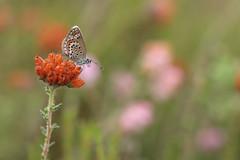 Silver-studded Blue (Plebejus argus), female, Heideblauwtje ((Ruud) Reddingius) Tags: heide dopheide heathland heather blauwtje heideblauwtje plebejus blue vlinder butterfly papillon