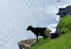 Living on the edge (Jaedde & Sis) Tags: sheep steep edge akraberg suðuroy føroyar rock song challengeyouwinner cyunanimous gamewinner