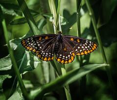 Shadow Dots (Portraying Life, LLC) Tags: dbg6 da3004 hd14tc k1 michigan pentax unitedstates bird butterfly closecrop handheld nativelighting portrait ricoh marsh sedge