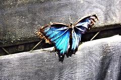 Blue Morpho (Morpho peleides) (Lana Pahl / Country Star Photography) Tags: catchycolors beautifulbutterflies butterflies