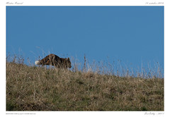 Renard (BerColly) Tags: france auvergne cantal renard fow automne autimn bercolly google flicker