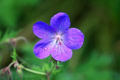 Purple flower (georgehart64) Tags: flower scotland aberdeen aberdeenshire johnstongardens purple ef100400mm f4556l is ii usm canon 70d bokeh