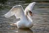 Swan-0011.jpg (vorneo) Tags: bird swan familyanatidae wildbird kingdomanimalia orderanseriformes wild genuscygnus muteswan classaves binomialnamecygnusolor speciescolor phylumchordata