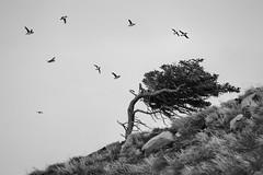 puffin tree (marianna_a.) Tags: puffin birds cypress tree windblown bw monochrome newfoundland p2780090 mariannaarmata