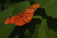 Julia Longwing (deanrr) Tags: nature butterfly julialongwing purdybutterflyhouse huntsvillebotanicalgarden huntsvillealabama alabama 2017 spring leaves
