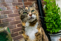 Pretty Prudence (EYeardley) Tags: cat tabbycat tabby tortie pet pretty animal greeneyes