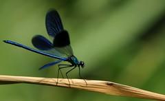 coloriamo le giornate... (andrea.zanaboni) Tags: colori colors colorando libellula dragonfly ballo nikon macro dance summer
