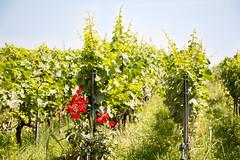 Viti e fiori 1 (Matteo_Orl) Tags: viti uva fiore natura lombardia iseo erbusco italia nature flowers saturday summer estate
