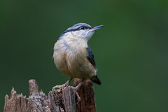 Nuthatch (Simon Stobart) Tags: nuthatch sitta europaea perched pose log looking up northeastengland ngc specanimal