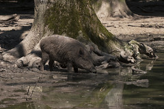 So eine Schweinerei (Lilongwe2007) Tags: wisentgehege springe zoo wildschweine tiere wasser natur deutschland schweine leben