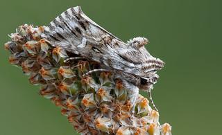 Owlet moth - Vlasbekuiltje