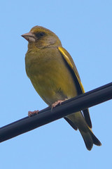 Photo of Greenfinch (Carduelis chloris)