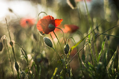 meadow delight (ΞSSΞ®®Ξ) Tags: ξssξ®®ξ pentax k5 spring 2017 green red light countryside lazio italy colors meadow field perspective outdoor depthoffield plant smcpentaxm50mmf17 grass poppy bokeh evening wheat landscape