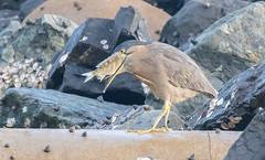 striated heron (Butorides striata)-2982 (rawshorty) Tags: rawshorty birds australia nsw portmacquarie