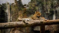 Fast and furious in relax mode (Torfi Ómarsson) Tags: danger jaguar zoo nature tenerife tree cat beautiful beast sleeping relaxing microfourthirds micro43 m43 panasonic