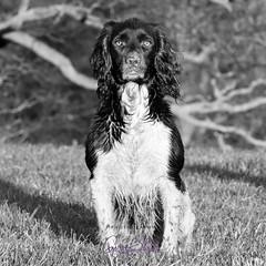 fieldsports photography-6683 (Photography By Gerry Slade) Tags: photography animal dewsbury dog dogphotographer dogphotography halifax huddersfield leeds pet photographybygerryslade wakefield wwwgerrysladecouk yorkshire