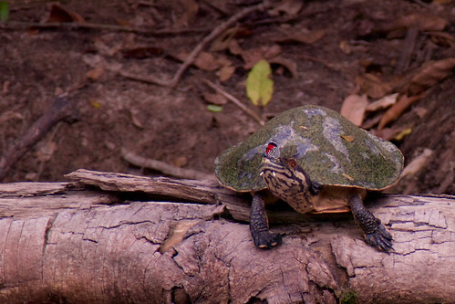 brazil-amazon-cristalino-lodge-river-turtle-with-butterfly-copyright-thomas-power-pura-aventura