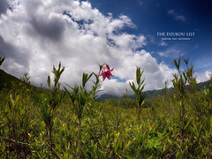 The Dzukou lily (shaan2noo) Tags: dzukou dzukouvalley dzukoulily lilium chitrangadae nagaland manipur northeastindia northeast india nature gopro