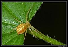 Philodromus sp. rufus group (cquintin) Tags: arthropoda araignée spider araneae philodromidae philodromus rufus