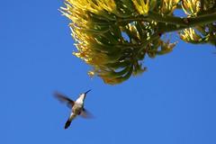 "Eleuthera: Hummer in Agave (Ali Bentley) Tags: ""century plant"" agave bloom flower bahamawoodstar calliphloxevelynae eleuthera eleutheraisland thebahamas bahamas island caribbean centuryplant hummingbird canon"