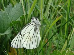 Black veined white! (rockwolf) Tags: blackveinedwhite butterfly aporiacrataegi papillon legazé capdelachèvre insect bretagne brittany france 2017 rockwolf