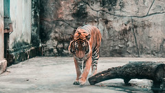 Predator in the cage (lin.chinhu) Tags: predator animal animalplanet zoo vietnam saigon tiger orange hunting hard case cage eyes fear human cruel
