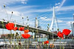 Rotterdam (Michel van Kooten) Tags: rotterdam erasmusbrug erasmus bridge brug bloemen bloem flower flowers poppies poppy klaproos klaprozen holland netherlands nederland maas maasstad