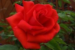 "Rose (Gartenzauber) Tags: rosesforeveryone sony floralfantasy macroelsalvador photosandcalendar thebestofmimamorsgroups ""doublefantasy"" contactgroups mimamorsflowers mixofflowers theoriginalgoldseal nature'splus greatshotss exquisiteflowers ""magicmomentsinyourlifelevel3"""