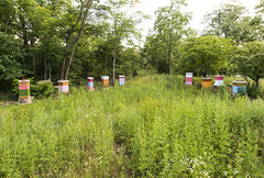 Apiary_2017 (Thomas Muir) Tags: tommuir apiary beeyard honey honeybee wildflower basswood nectar pollen perrysburg ohio woodcounty forage pond apismellifera beekeeper outdoor nikon d800 hive nuc super langstroth wideangle maumeevalley flow midwest prairie native plant grass flower culture bee queen pollinator colony colonies swarm orientation flight graft beeswax propolis