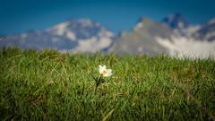 Vanguard (Ettore Trevisiol) Tags: ettore trevisiol nikon d7200 nikkor 18 70 d300 tokina 11 20 55 200 gran paradiso national park flower grass mountain