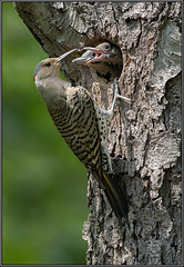 Northern Flickers (Randy Lowden) Tags: northernflicker chicks babies nest niagara randylowden canon